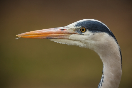 Grey heron close-up with green background