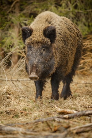 formidable: Wild boar walking through dead grass and pine trees
