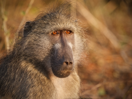 Cape baboon in early morning sunlight, South Africa