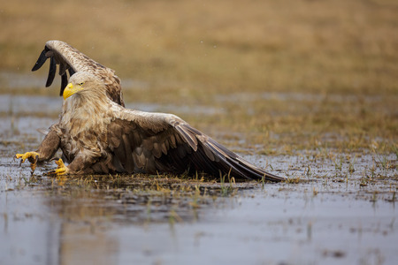 White-tailed sea eagle trying to land on ice covered lake, sliding off screen