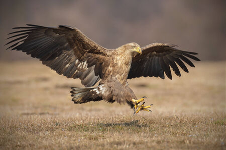 White-tailed sea eagle coming in to land