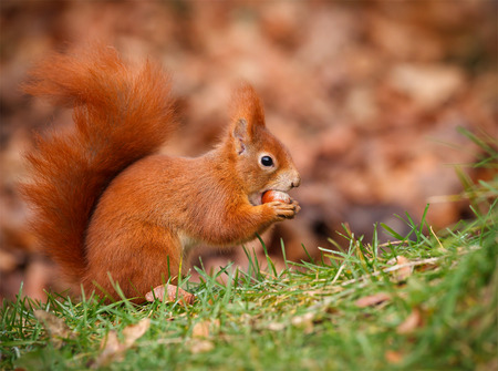 Red squirrel hunting for hazel nuts in the grass