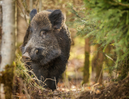 Wild boar being cautious in the forest