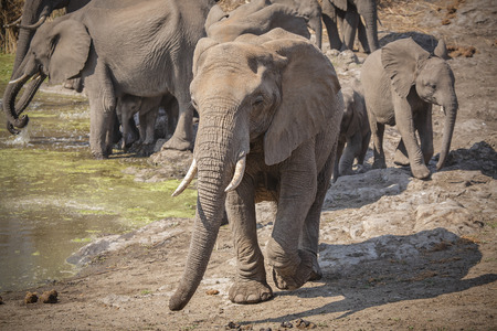 Elephant herd in Kruger National Park Standard-Bild