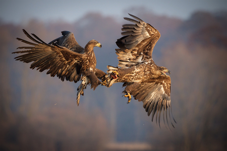 White-tailed sea eagles mid flight battling over food  Standard-Bild
