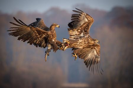 battling: White-tailed sea eagles mid flight battling over food  Stock Photo