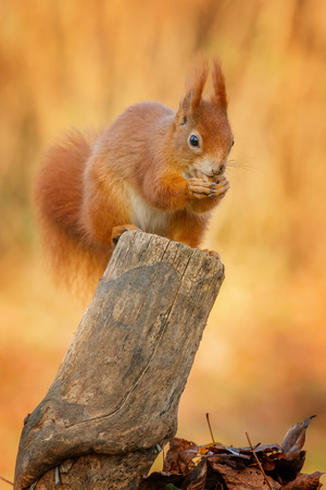 Red squirrel chewing on an acorn sat on an old stump