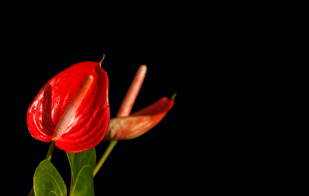 Anthurium red flamingo flower on black background Stock Photo - 22225204