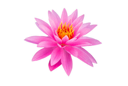 pink water lily on white background photo