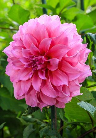 Dahlia virág
