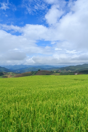 Rice terrace in Thailand