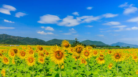 Sunflower field in Thailand Standard-Bild