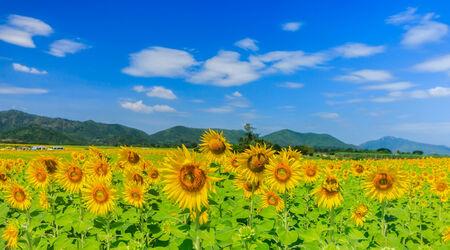 Sunflower field in Thailand Stock Photo