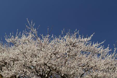 Plum and Blue sky Stock Photo