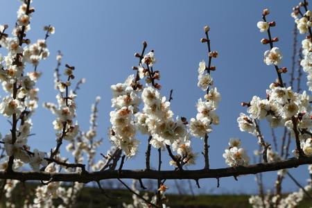 白い梅の花 写真素材
