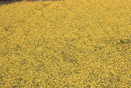 菜の花畑 写真素材 - 75409468