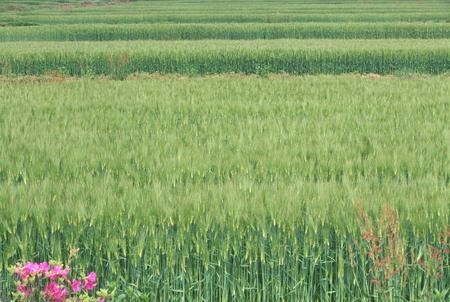 春麦畑 写真素材 - 75409484