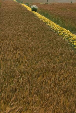 麦の秋 写真素材 - 75981535