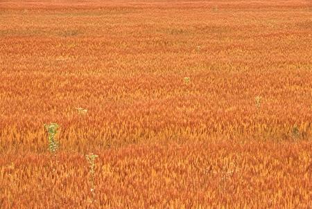 麦畑 写真素材 - 75939249