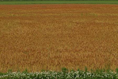 麦畑 写真素材 - 76035576