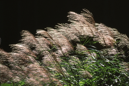 the pampas: Japanese pampas grass