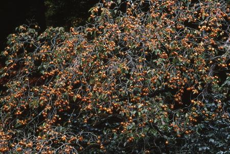 日本の柿の木
