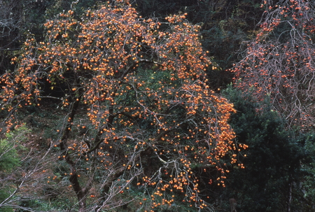日本の柿の木 写真素材 - 76132672