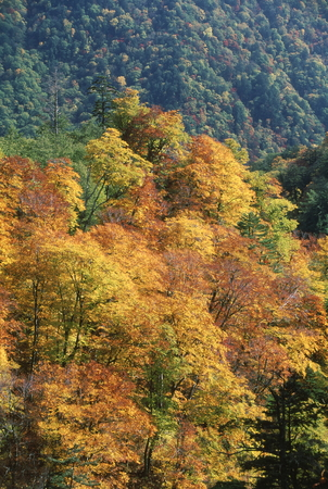 Turning yellow of beech forest