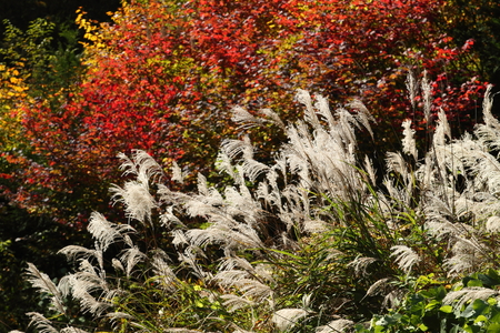 Japanese pampas grass and colored leaves