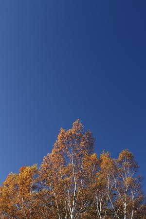 秋の空と白樺の森 写真素材