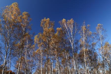 秋の白樺林 写真素材