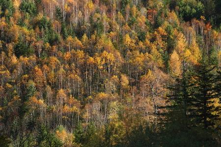 秋の白樺の森 写真素材 - 76387830