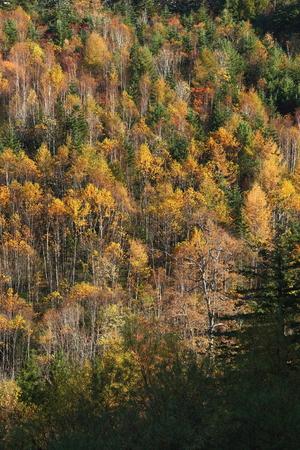 秋の白樺の森