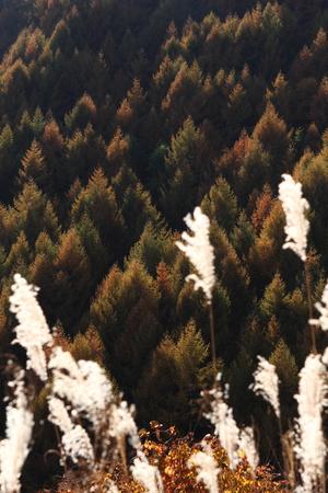 秋のカラマツ林 写真素材 - 76387846