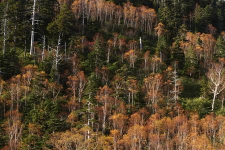 秋の白樺の森 写真素材 - 76387848