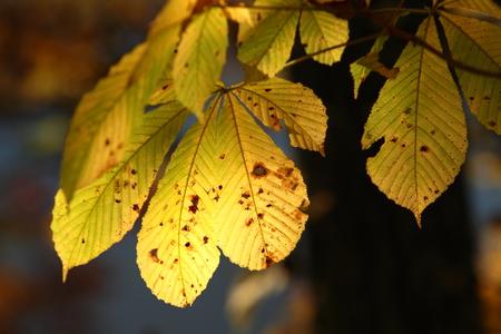 マグノリアの黄葉 写真素材