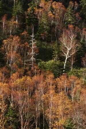 秋の白樺の森 写真素材 - 76387852