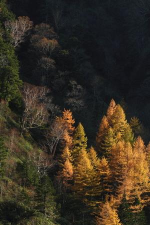 カラマツ林の黄葉 写真素材 - 76387853