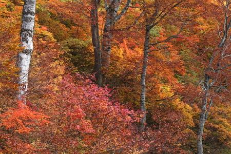 紅葉の森 写真素材