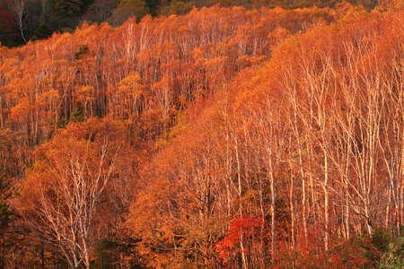 Birch forest of dusk