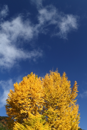 Ginkgo and blue sky 写真素材