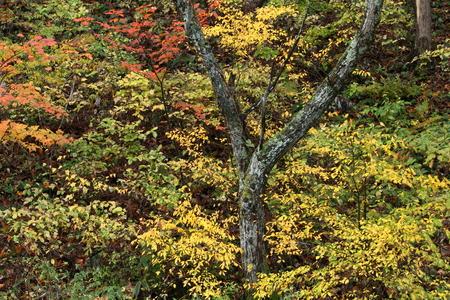 雑木林の紅葉 写真素材 - 76389073