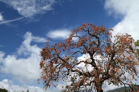 空と柿の木 写真素材 - 76389084