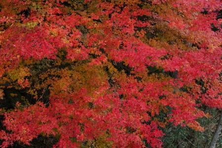 カエデの紅葉 写真素材 - 76389085