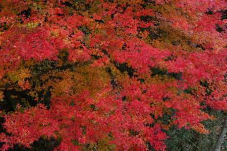 Colored leaves of maple