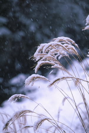 Japanese pampas grass and snow 写真素材