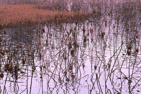 冬の蓮の池 写真素材