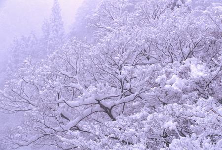雪に覆われた梢