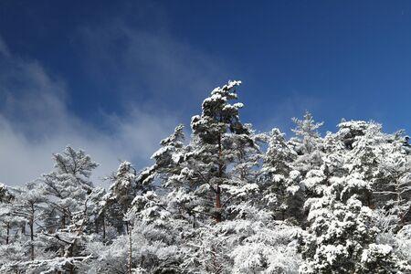 雪の松の森 写真素材