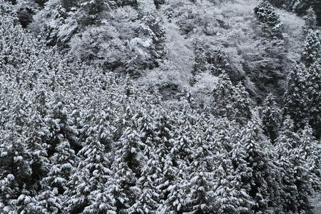 雪に覆われたスギ林 写真素材